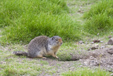 columbian ground squirrel on the alert poster