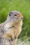 columbian ground squirrel portrait poster