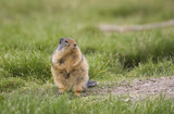 columbian ground squirrel alerted poster