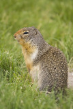 columbian ground squirrel sniffing poster