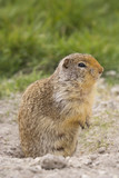 columbian ground squirrel near the hole to his underground den poster