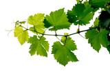 Fototapety grape vine