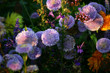 harmony in lilac