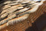 rio grande turkey featers poster