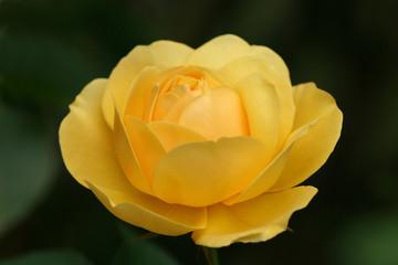 rose kontrastreich