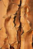 quiver tree bark poster
