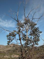 arbre brule