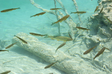 underwater image of trout fish