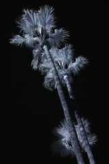 palm trees ir