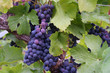blue-purple grape clusters