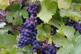 Fototapety blue-purple grape clusters