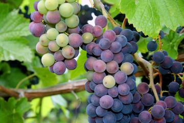 multi-colored grape clusters