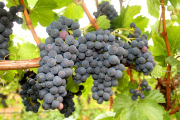 wine grape clusters