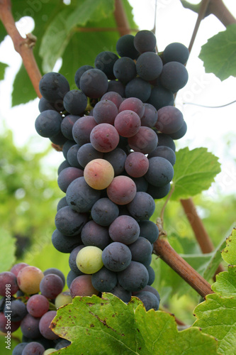 ripening grape cluster