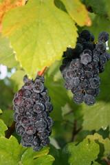 wet grape cluster