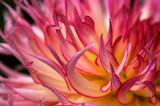 Fototapeta close-up dahlia