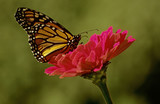 monarch butterfly on pink flower
