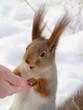 beggar squirrel