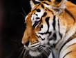 Fototapeten,tiger,tierpark,katze,katze