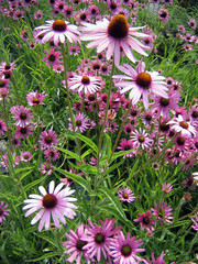 field of echinacea flowers