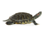 Fototapete Schildkröte - Zielscheibe - Haustiere