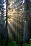 golden sunrays on a savage fir forest poster