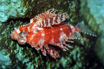 devil lionfish