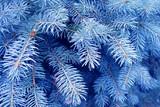 blue fir poster
