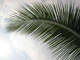 closeup coconut palm tree leaf poster