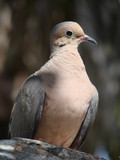 mounrning dove in sunshine poster