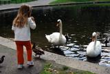 little girl feeding big swans poster