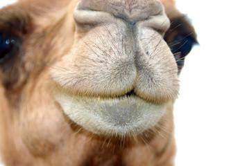 camel snout