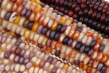 full frame colored corn