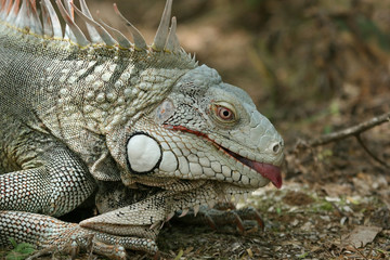 iguana showing a tongue