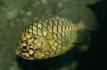 pipeapple fish