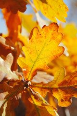 warm oak leaves