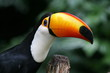 tucan up close with blurred background