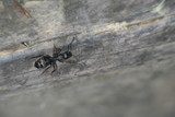 carpenter ant poster