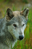 rocky mountain grey wolf poster