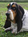 portrait de basset hound poster