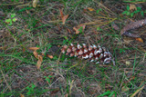 pine cone on the ground poster