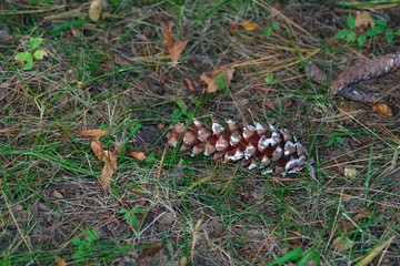 pine cone on the ground