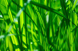 Fototapety detail of green grass