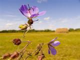field violet flowers poster