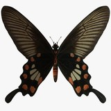 butterfly-rose swallow tail poster