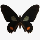 butterfly-ruby swallow tail poster
