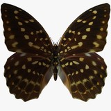 butterfly-speckled hen poster