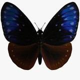 butterfly-striped blue crow poster
