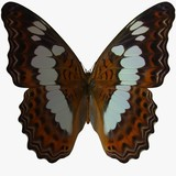 butterfly-white admiral poster