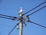albatross sitting on electric post poster